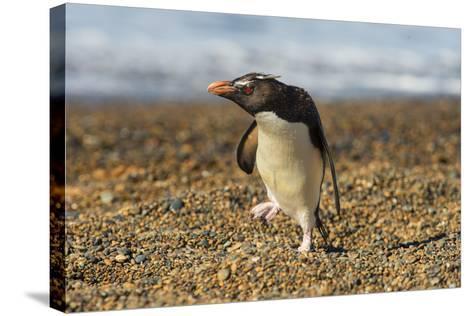 Rockhopper Penguin (Eudyptes Crestatus), Patagonia, Argentina, South America-Pablo Cersosimo-Stretched Canvas Print