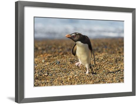 Rockhopper Penguin (Eudyptes Crestatus), Patagonia, Argentina, South America-Pablo Cersosimo-Framed Art Print