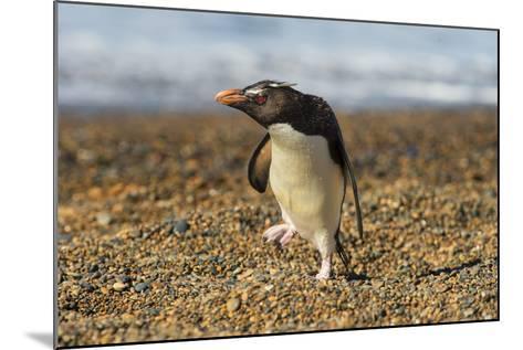 Rockhopper Penguin (Eudyptes Crestatus), Patagonia, Argentina, South America-Pablo Cersosimo-Mounted Photographic Print