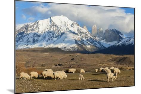 Sheep, Torres Del Paine National Park, Patagonia, Chile, South America-Pablo Cersosimo-Mounted Photographic Print