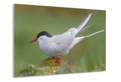 Arctic Tern (Sterna Paradisaea)Perched on a Rock on the Farne Islands, Northumberland, England-Garry Ridsdale-Metal Print