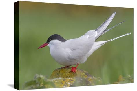 Arctic Tern (Sterna Paradisaea)Perched on a Rock on the Farne Islands, Northumberland, England-Garry Ridsdale-Stretched Canvas Print