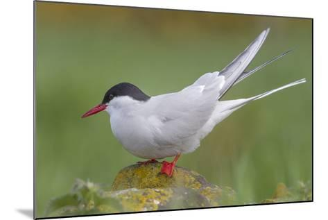 Arctic Tern (Sterna Paradisaea)Perched on a Rock on the Farne Islands, Northumberland, England-Garry Ridsdale-Mounted Photographic Print