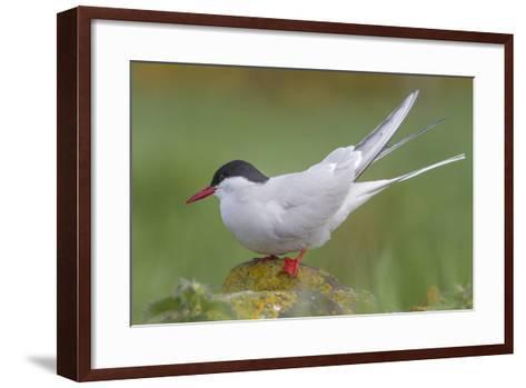 Arctic Tern (Sterna Paradisaea)Perched on a Rock on the Farne Islands, Northumberland, England-Garry Ridsdale-Framed Art Print