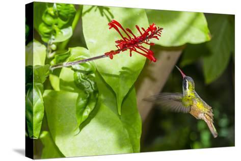 Adult Male Xantus's Hummingbird (Hylocharis Xantusii), Todos Santos, Baja California Sur-Michael Nolan-Stretched Canvas Print