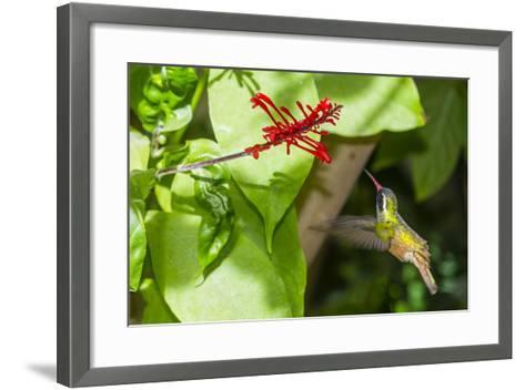 Adult Male Xantus's Hummingbird (Hylocharis Xantusii), Todos Santos, Baja California Sur-Michael Nolan-Framed Art Print