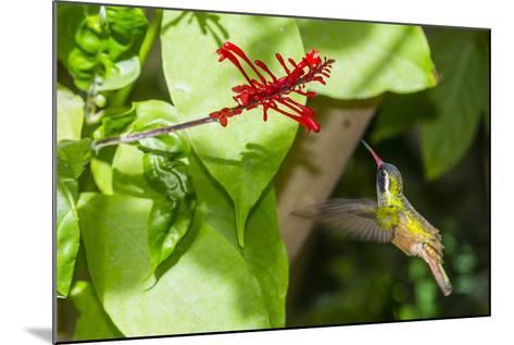Adult Male Xantus's Hummingbird (Hylocharis Xantusii), Todos Santos, Baja California Sur-Michael Nolan-Mounted Photographic Print