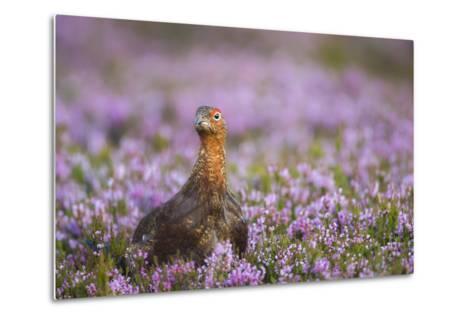 Red Grouse (Lagopus Lagopus), Yorkshire Dales, England, United Kingdom, Europe-Kevin Morgans-Metal Print