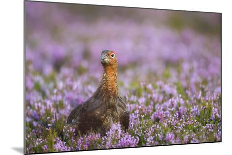 Red Grouse (Lagopus Lagopus), Yorkshire Dales, England, United Kingdom, Europe-Kevin Morgans-Mounted Photographic Print