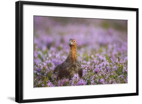 Red Grouse (Lagopus Lagopus), Yorkshire Dales, England, United Kingdom, Europe-Kevin Morgans-Framed Art Print