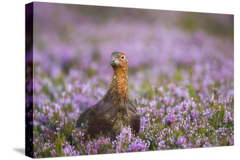 Red Grouse (Lagopus Lagopus), Yorkshire Dales, England, United Kingdom, Europe-Kevin Morgans-Stretched Canvas Print
