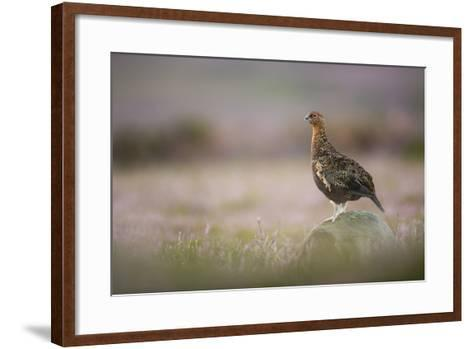 Red Grouse (Lagopus Lagopus), Yorkshire Dales, England, United Kingdom, Europe-Kevin Morgans-Framed Art Print