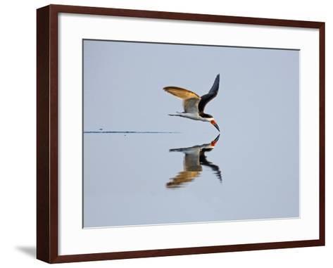 Brazil, Pantanal, Mato Grosso Do Sul. a Black Skimmer Flies Low over the Rio Negro River.-Nigel Pavitt-Framed Art Print