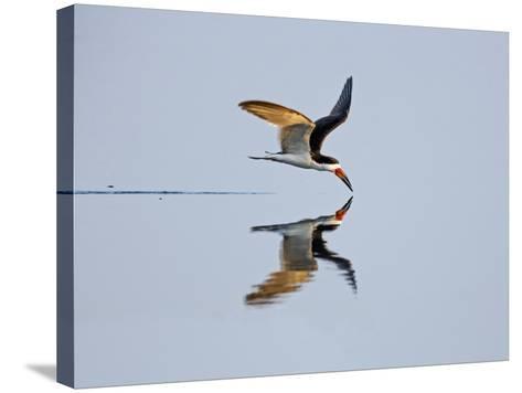 Brazil, Pantanal, Mato Grosso Do Sul. a Black Skimmer Flies Low over the Rio Negro River.-Nigel Pavitt-Stretched Canvas Print