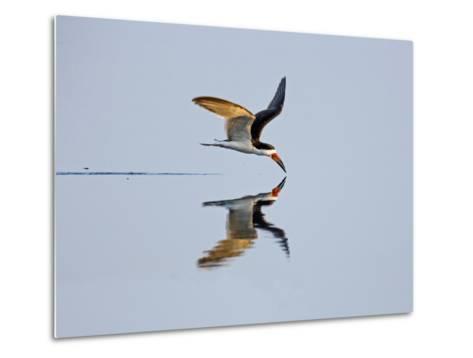 Brazil, Pantanal, Mato Grosso Do Sul. a Black Skimmer Flies Low over the Rio Negro River.-Nigel Pavitt-Metal Print