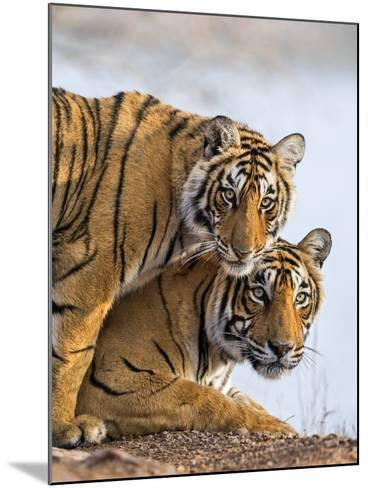 India Rajasthan, Ranthambhore. a Female Bengal Tiger with One of Her One-Year-Old Cubs.-Nigel Pavitt-Mounted Photographic Print