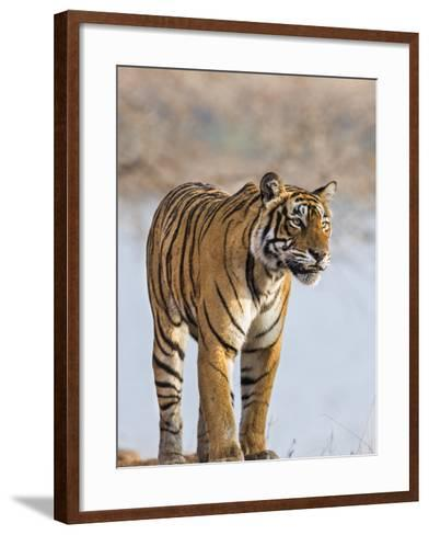 India, Rajasthan, Ranthambhore. a Female Bengal Tiger Stares Intently after Calling Her Cubs.-Nigel Pavitt-Framed Art Print