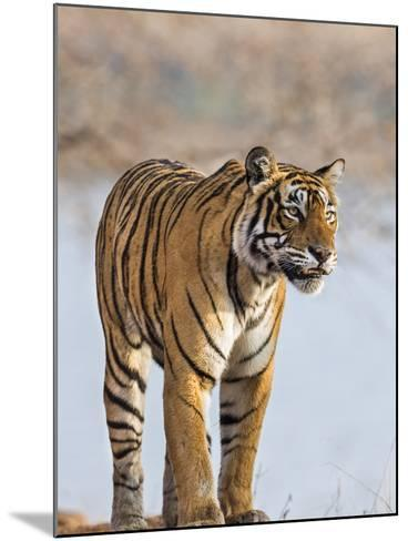 India, Rajasthan, Ranthambhore. a Female Bengal Tiger Stares Intently after Calling Her Cubs.-Nigel Pavitt-Mounted Photographic Print