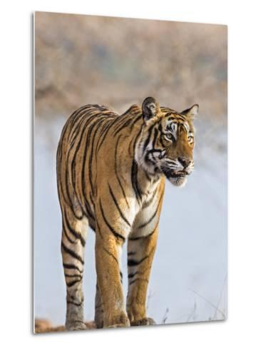 India, Rajasthan, Ranthambhore. a Female Bengal Tiger Stares Intently after Calling Her Cubs.-Nigel Pavitt-Metal Print