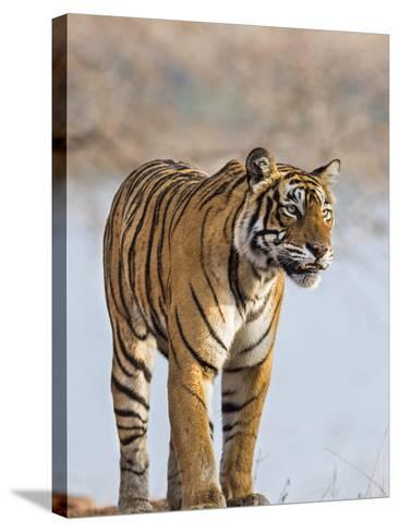 India, Rajasthan, Ranthambhore. a Female Bengal Tiger Stares Intently after Calling Her Cubs.-Nigel Pavitt-Stretched Canvas Print