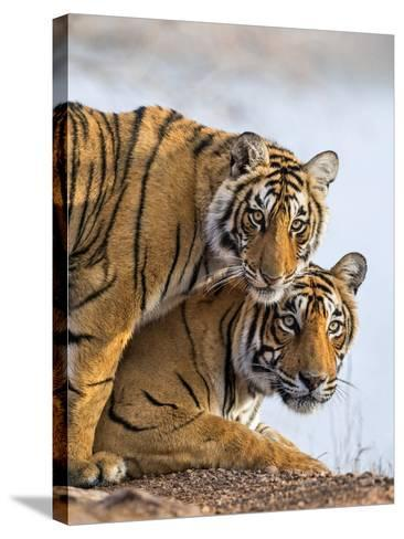 India Rajasthan, Ranthambhore. a Female Bengal Tiger with One of Her One-Year-Old Cubs.-Nigel Pavitt-Stretched Canvas Print