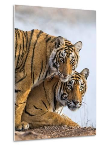 India Rajasthan, Ranthambhore. a Female Bengal Tiger with One of Her One-Year-Old Cubs.-Nigel Pavitt-Metal Print