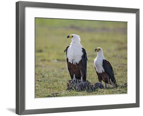 Kenya, Kajiado County, Amboseli National Park. a Pair of Fish Eagles.-Nigel Pavitt-Framed Art Print