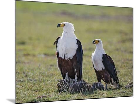 Kenya, Kajiado County, Amboseli National Park. a Pair of Fish Eagles.-Nigel Pavitt-Mounted Photographic Print