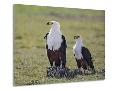 Kenya, Kajiado County, Amboseli National Park. a Pair of Fish Eagles.-Nigel Pavitt-Metal Print