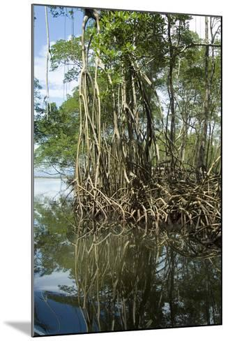 Mangrove, Los Haitises National Park, Dominican Republic-Natalie Tepper-Mounted Photo