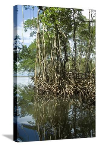 Mangrove, Los Haitises National Park, Dominican Republic-Natalie Tepper-Stretched Canvas Print