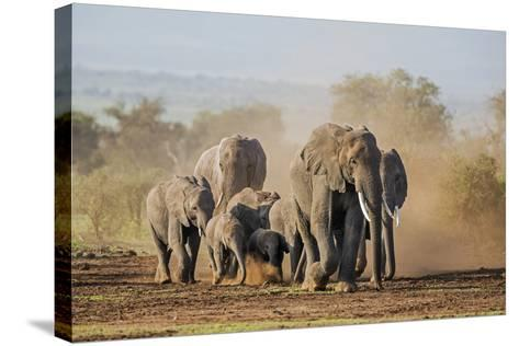 Kenya, Kajiado County, Amboseli National Park. a Herd of African Elephants on the Move.-Nigel Pavitt-Stretched Canvas Print