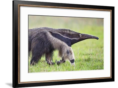 Brazil, Pantanal, Mato Grosso Do Sul. the Giant Anteater or Ant Bear-Nigel Pavitt-Framed Art Print