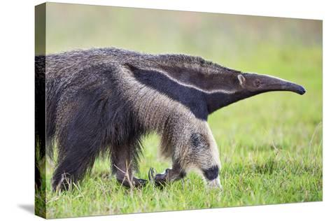 Brazil, Pantanal, Mato Grosso Do Sul. the Giant Anteater or Ant Bear-Nigel Pavitt-Stretched Canvas Print