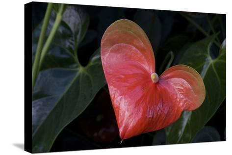 Anthurium Flower on Display, London, England-Natalie Tepper-Stretched Canvas Print
