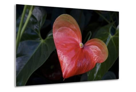 Anthurium Flower on Display, London, England-Natalie Tepper-Metal Print