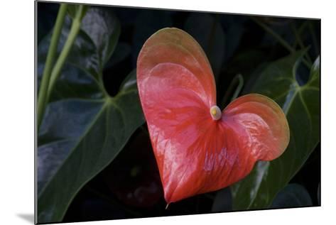 Anthurium Flower on Display, London, England-Natalie Tepper-Mounted Photo