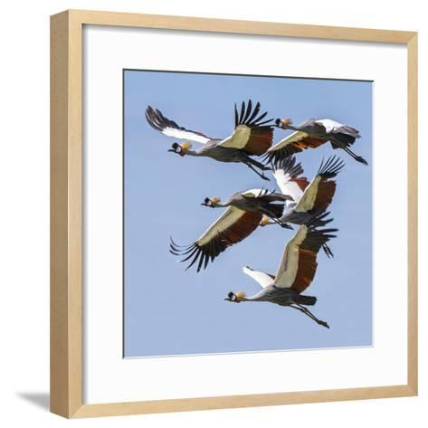 Uganda, Sipi. Grey Crowned Cranes in Flight. This Striking Species Is the National Bird of Uganda.-Nigel Pavitt-Framed Art Print