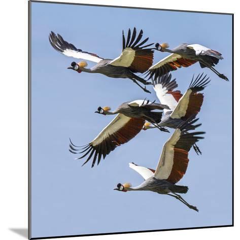 Uganda, Sipi. Grey Crowned Cranes in Flight. This Striking Species Is the National Bird of Uganda.-Nigel Pavitt-Mounted Photographic Print