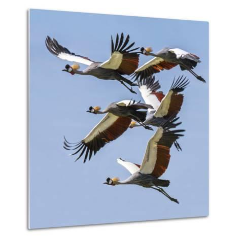 Uganda, Sipi. Grey Crowned Cranes in Flight. This Striking Species Is the National Bird of Uganda.-Nigel Pavitt-Metal Print