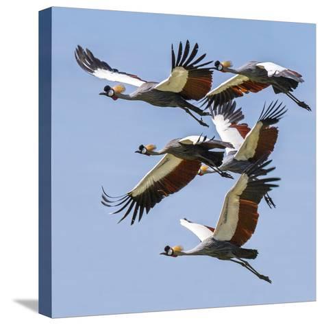 Uganda, Sipi. Grey Crowned Cranes in Flight. This Striking Species Is the National Bird of Uganda.-Nigel Pavitt-Stretched Canvas Print