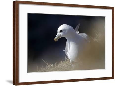 Northern Fulmar Perched-William Gray-Framed Art Print