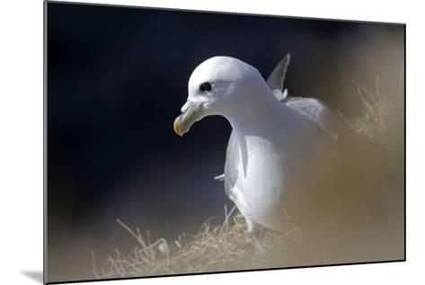 Northern Fulmar Perched-William Gray-Mounted Photographic Print