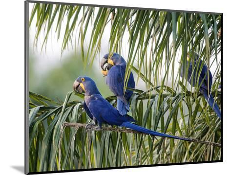 Brazil, Pantanal, Mato Grosso Do Sul. Hyacinth Macaws Roosting in a Palm.-Nigel Pavitt-Mounted Photographic Print