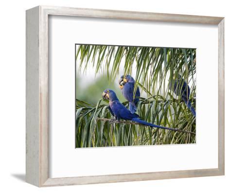 Brazil, Pantanal, Mato Grosso Do Sul. Hyacinth Macaws Roosting in a Palm.-Nigel Pavitt-Framed Art Print