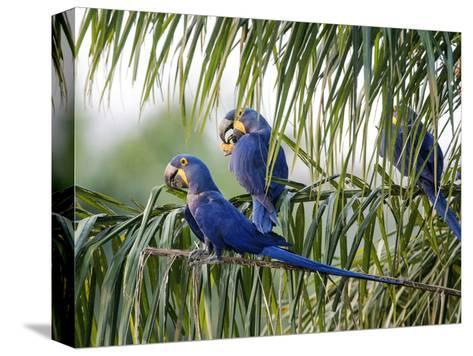 Brazil, Pantanal, Mato Grosso Do Sul. Hyacinth Macaws Roosting in a Palm.-Nigel Pavitt-Stretched Canvas Print