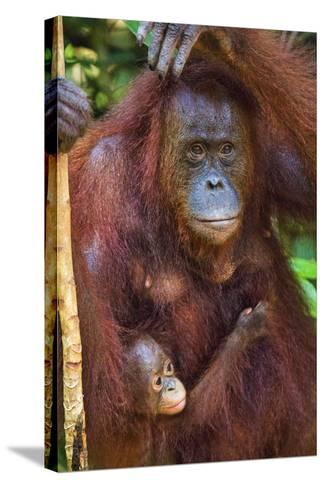 Indonesia, Central Kalimatan, Tanjung Puting National Park. a Mother and Baby Bornean Orangutan.-Nigel Pavitt-Stretched Canvas Print