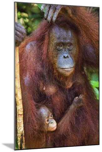 Indonesia, Central Kalimatan, Tanjung Puting National Park. a Mother and Baby Bornean Orangutan.-Nigel Pavitt-Mounted Photographic Print