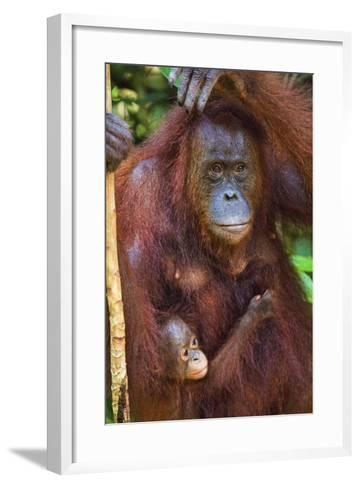 Indonesia, Central Kalimatan, Tanjung Puting National Park. a Mother and Baby Bornean Orangutan.-Nigel Pavitt-Framed Art Print