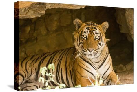 India, Rajasthan, Ranthambore. Royal Bengal Tiger known as Ustad (T24) Resting in a Cool Cave.-Katie Garrod-Stretched Canvas Print